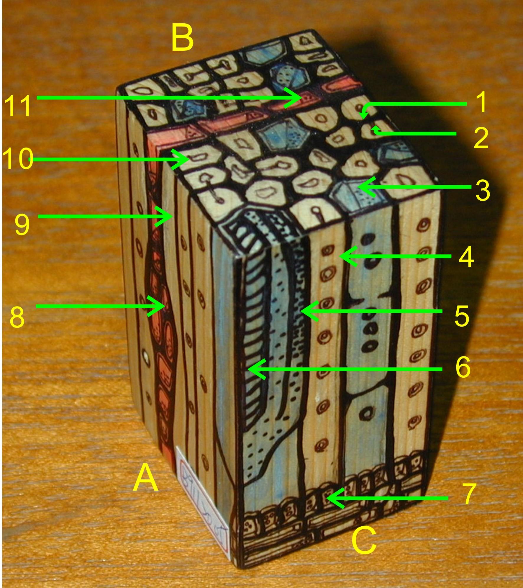 针阔叶树木材之显微构造模型
