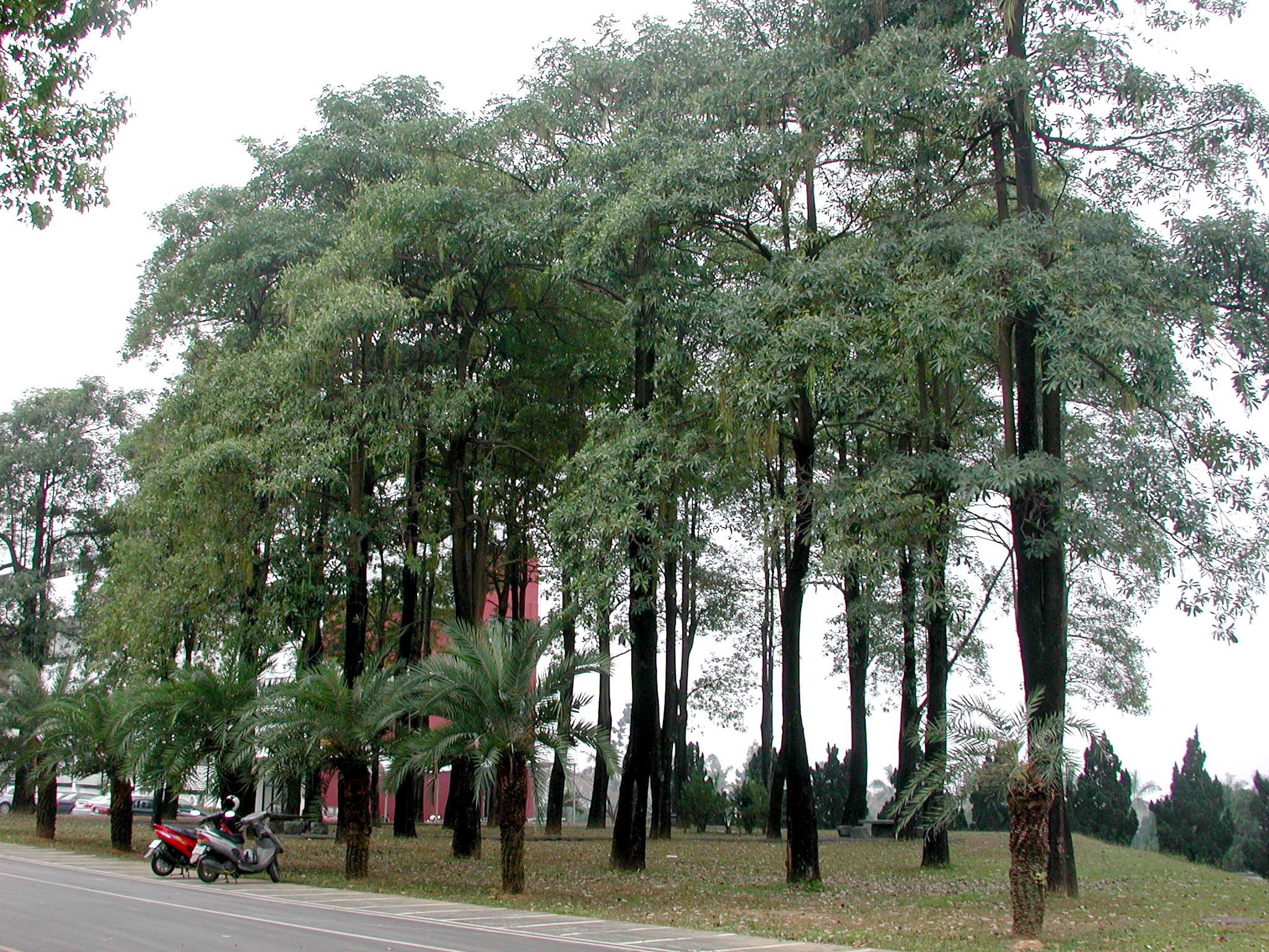 99.03 NPUST花果訊(8)–黑板樹