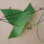 三角葉西番蓮  Grandular Petioluled Passiflora