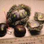 板栗 chestnut