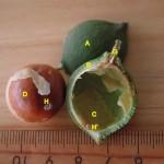 澳洲胡桃 Macadamia nut