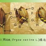 水稻(果實解剖圖) Rice