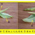 黃玉蘭–托葉痕解說圖 Champac Michelia,Champa,Oulia Champ,Yellow Michelia