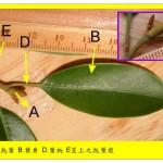 烏心石–托葉痕解說圖 Formosan Michelia