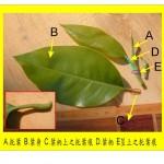 白玉蘭–托葉痕解說圖 Yulan Magnolia