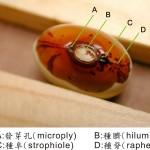 紅花菜豆 multiflora bean
