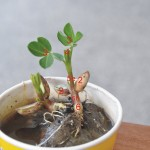 花生(幼苗) peanut