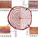 木材之橫切面 corss section of wood