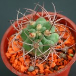 仙人掌之刺(5) spines of cacti(5)