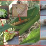 肉穗花序-(姑婆芋) spadix-( Alocasia macrorrhiza)