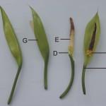 肉穗花序-(粗肋草) spadix-(Aglaonema modestum Schott)