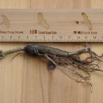 軸根系 tap root system