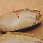 胚乳(雙子葉植物) endosperm