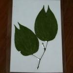 菊花木葉片