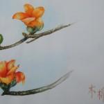 木棉 Cotton Tree、 Silk-cotton Tree、Malabar Bombox