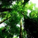仰望熱帶雨林龍腦香的樹冠 Dipterocarpus