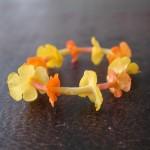 馬櫻丹花戒指 flower ring (Common lantana)