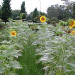 向日葵 sunflower