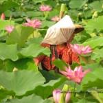 荷花(蓮花) East indian lotus