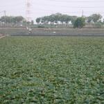 菱角 Water caltrop