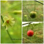 蘆筍 Asparagus