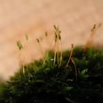 蘚類(也有人稱為苔類) Moss