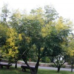 台灣欒樹 Flame Gold-rain Tree 、Taiwan Golden-rain Tree、Flamegold