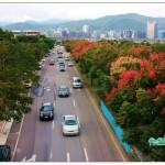 台灣欒樹 Flame Gold-rain Tree 、Taiwan Golden-rain Tree、Flamegold