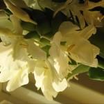 野薑花 Butterfly Ginger,Ginger Lily,Butterfly Lily,Garland Flower
