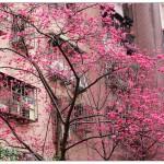 櫻花(八重櫻)