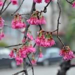 櫻花(山櫻花) Taiwan  cherry