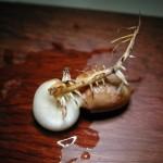 花生(生命週期) peanut