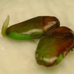 黃皮(種子發芽成長過程) Wampee