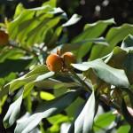 毛柿 Taiwan Ebony,Taiwan Persimmon