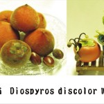 毛柿(種子發芽紀錄) Taiwan Ebony,Taiwan Persimmon