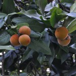 毛柿(生命週期) Taiwan Ebony,Taiwan Persimmon