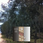 巴西橡膠樹 Rubber tree