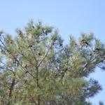 台灣二葉松 Taiwan red pine