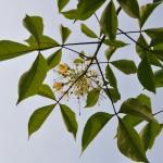 魚木 Spider Tree