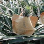 鳳梨(防曬) Pineapple
