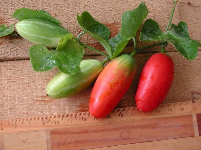 紅瓜成熟果實