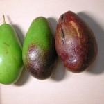 酪梨 Avocado