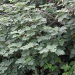 構樹 Kou-shui,paper mulberry