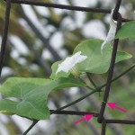 紅瓜 Ivy Gourd