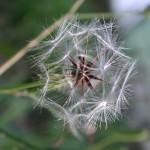 兔兒菜 Rabbit milkweed