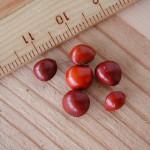 小實孔雀豆 Ladycoot beadtree Small red sandalwood