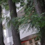 銀樺 Silver oak,silk oak