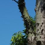 美人樹 Floss-silk Tree