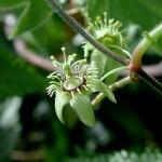 三角葉西蕃蓮 Grandular Petioluled Passiflora