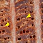 半輪狀薄壁細胞 Abaxial paratracheal parenchyma
